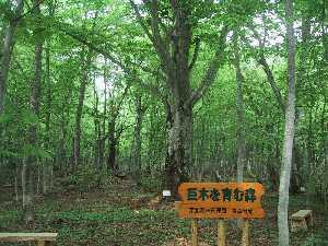 巨木を育む森