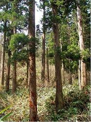 写真:文政6年植栽スギ人工林