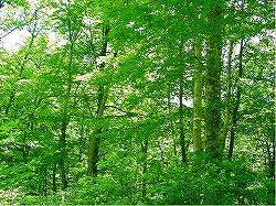 写真:幸屋ウダイカンバ林木遺伝資源保存林