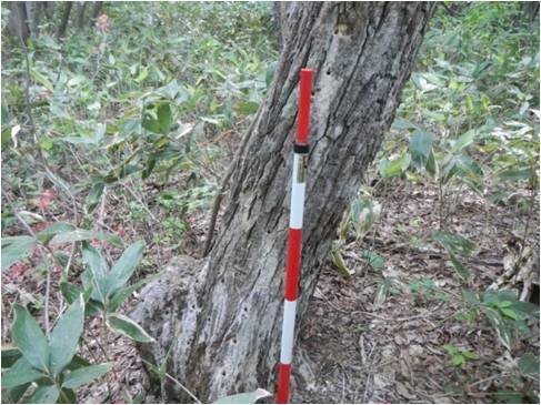 ミズナラ被害木