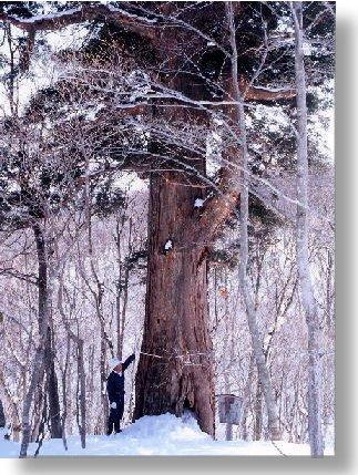 高さ26メートルになるえぼし千年杉