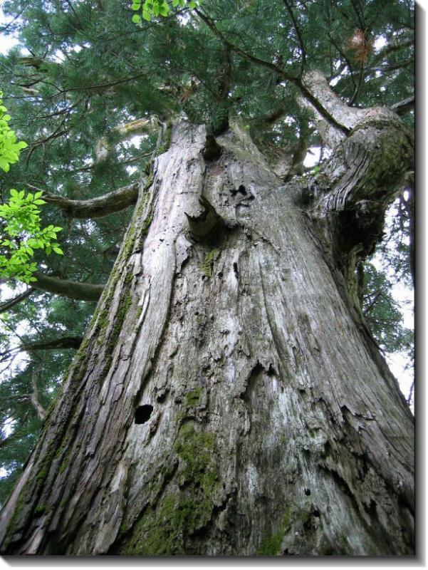 えぼし千年杉
