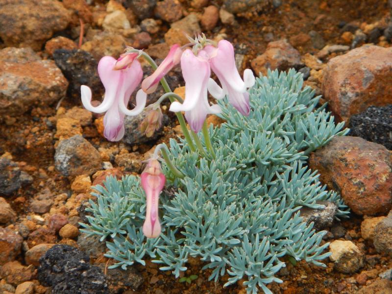蔵王に咲くコマクサ