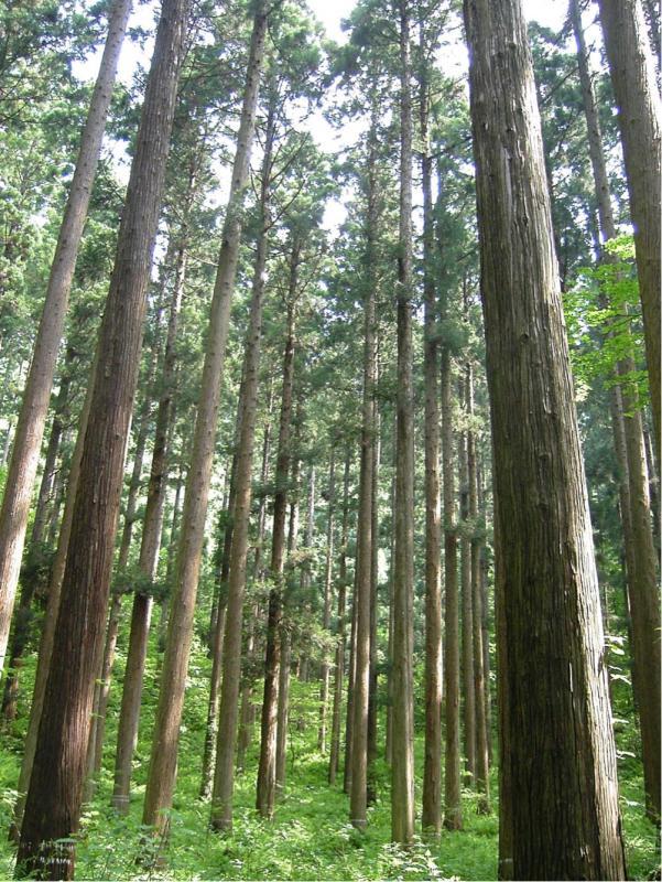 スギ人工林の写真